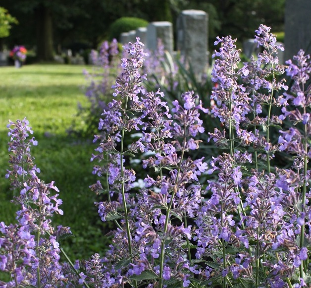 Catmint in the Rock Creek Church cemetery.