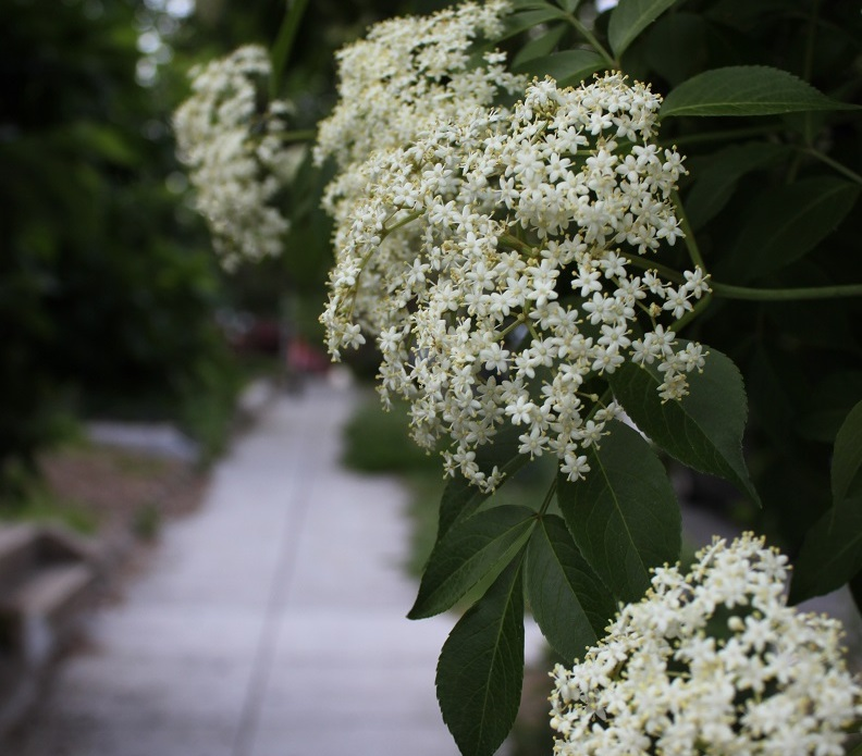 A large elderberry bush in the curbstrip along 4th St