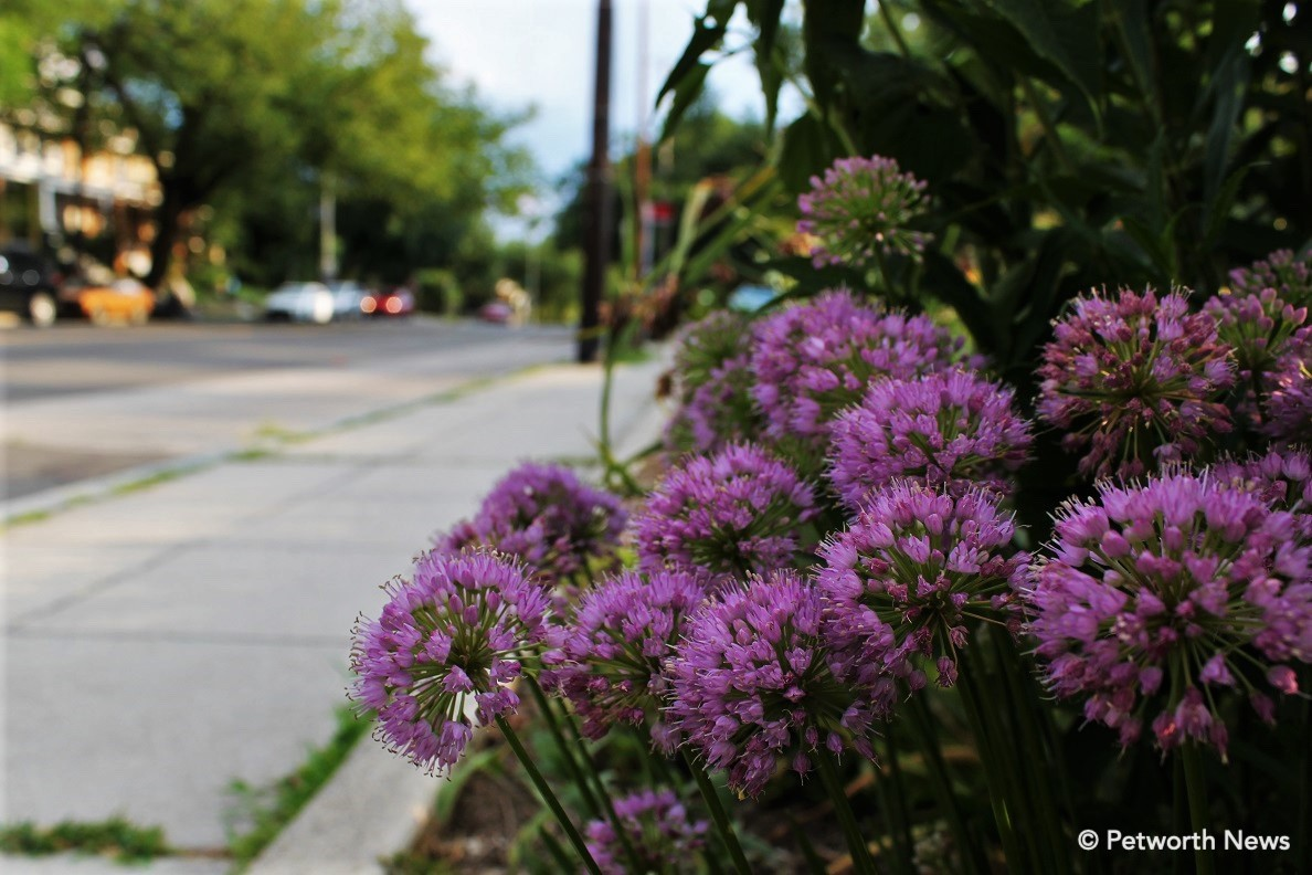 Alliums blooming at the 4th and Buchanan triangle park.