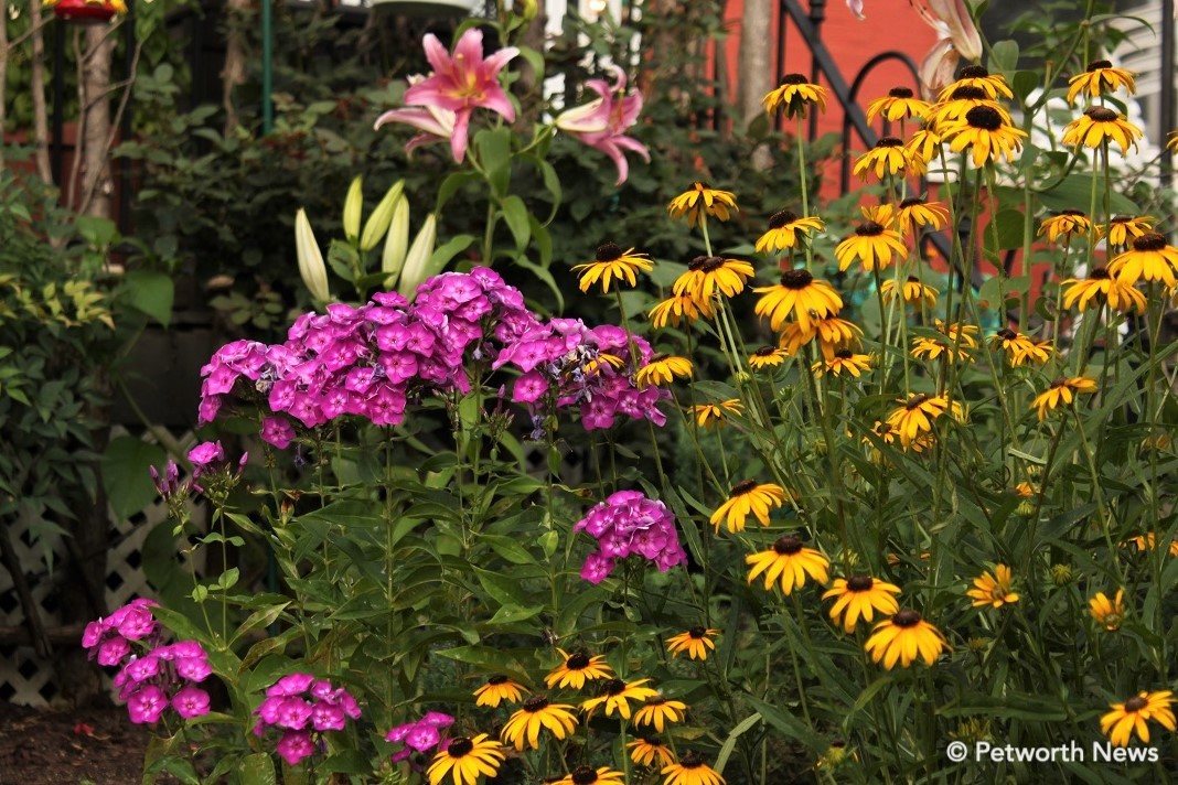 Pink garden phlox on 8th St, along with black-eyed susans and lilies.