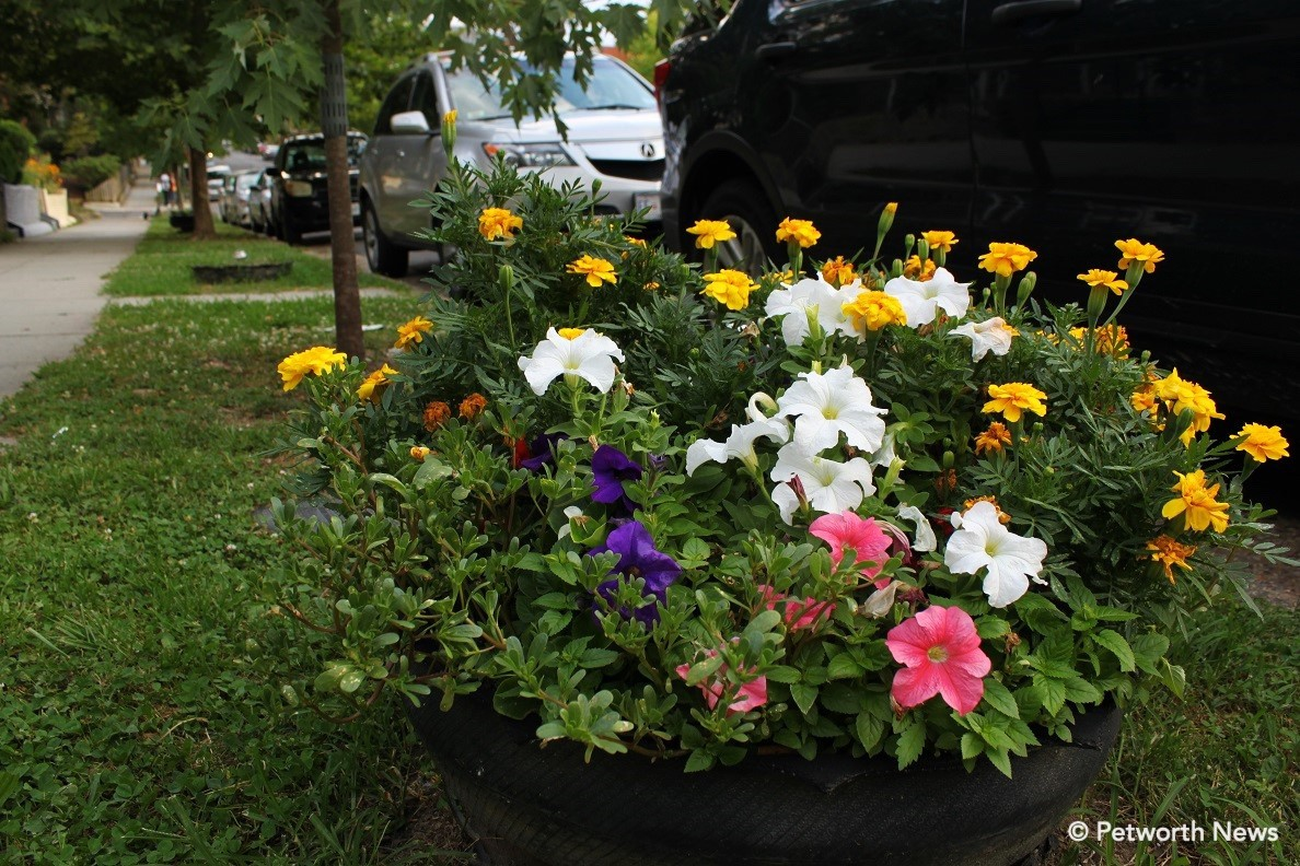Blue, white and pink petunias in a tire planter on 8th Street. Yellow marigolds in the back.