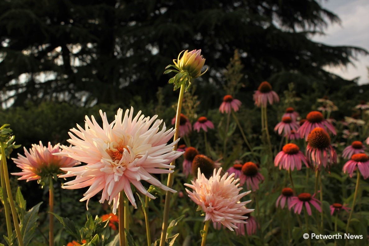 """ Pinwheel"" dahlia in Grant Circle. Purple coneflower in the back."