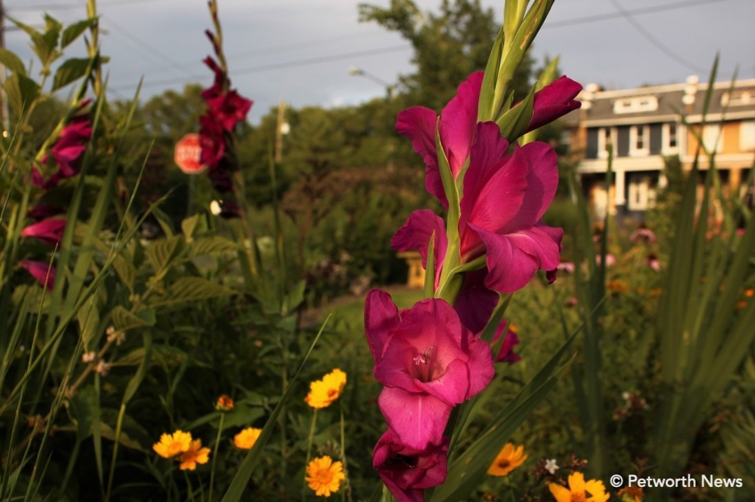 Fuschia colored gladiolus in the 4th and Buchanan triangle park.