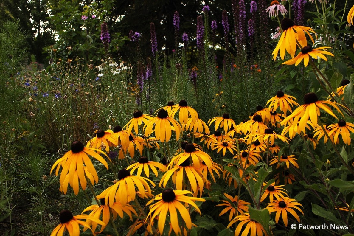Black-eyed Susan hybrid in Grant Circle. Liatris in the background.