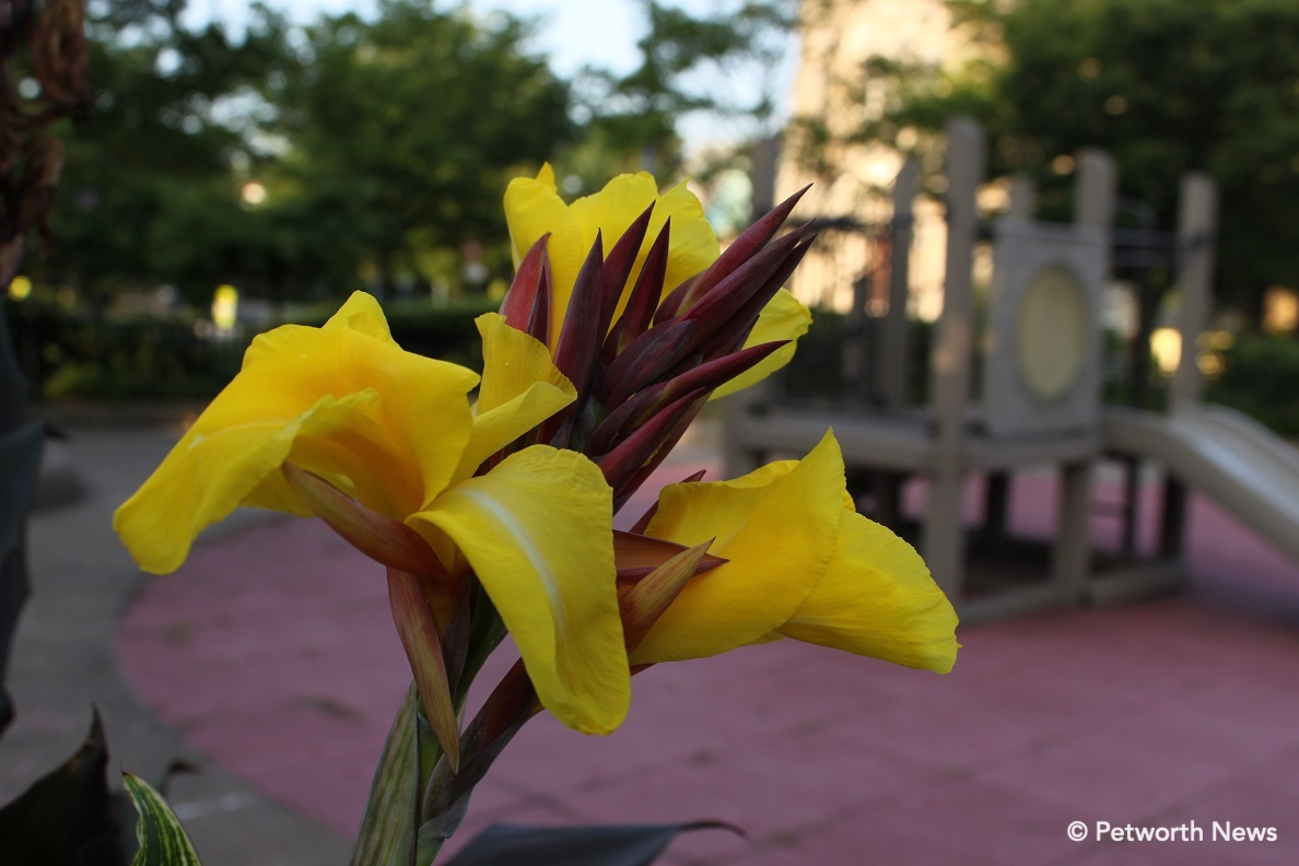Yellow Canna Lily at the Grant Circle playground.