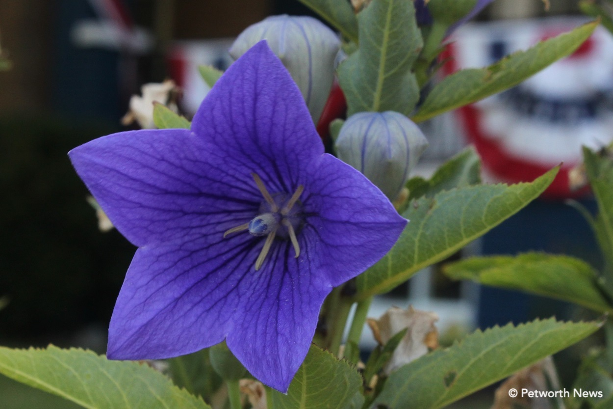 "Blue balloon flower on Sherman Circle. Two unopened flowers in the back show the ""balloon"" shape."