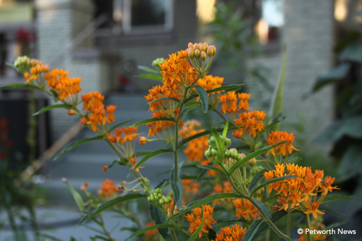 Butterfly weed on New Hampshire Avenue.
