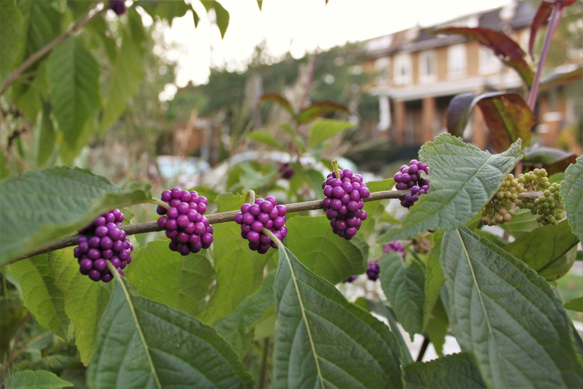 A beautyberry at the 4th and Buchanan triangle park