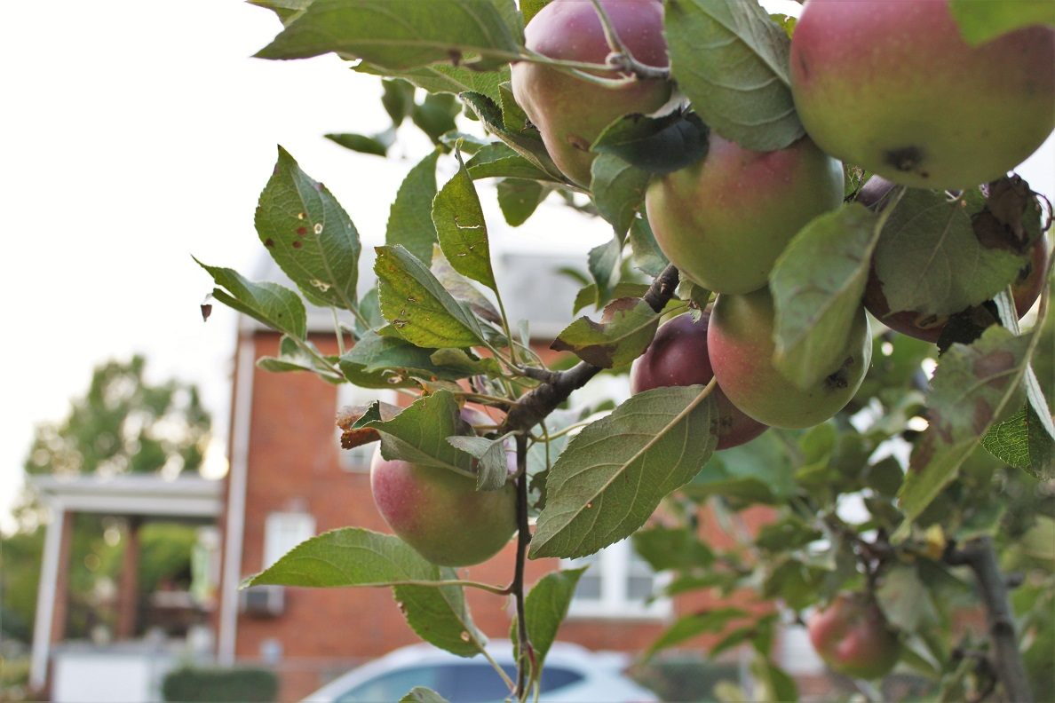 Apples in the mini-orchard on Allison Street NW