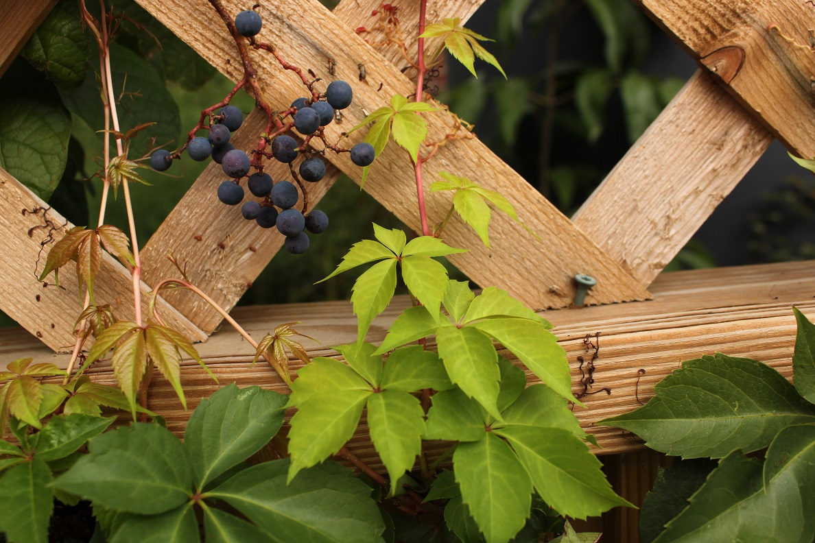 New foliage and berries of virginia creeper in a 4th Street alley