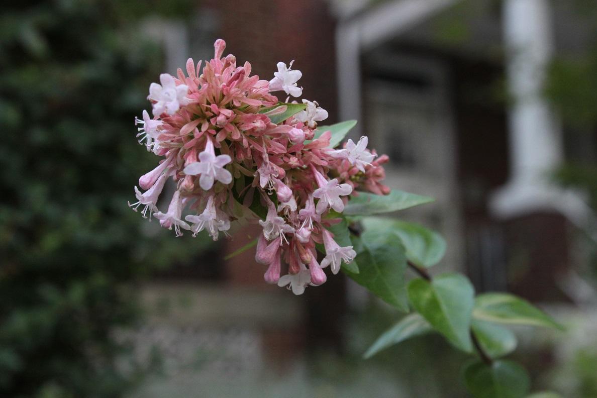 Abelia growing on Illinois Avenue NW