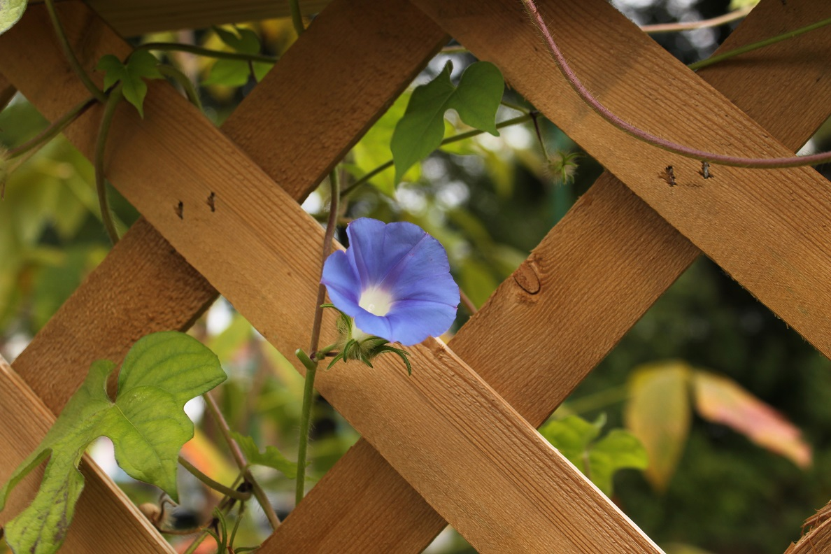 Morning glory growing in an alley off 4th Street NW