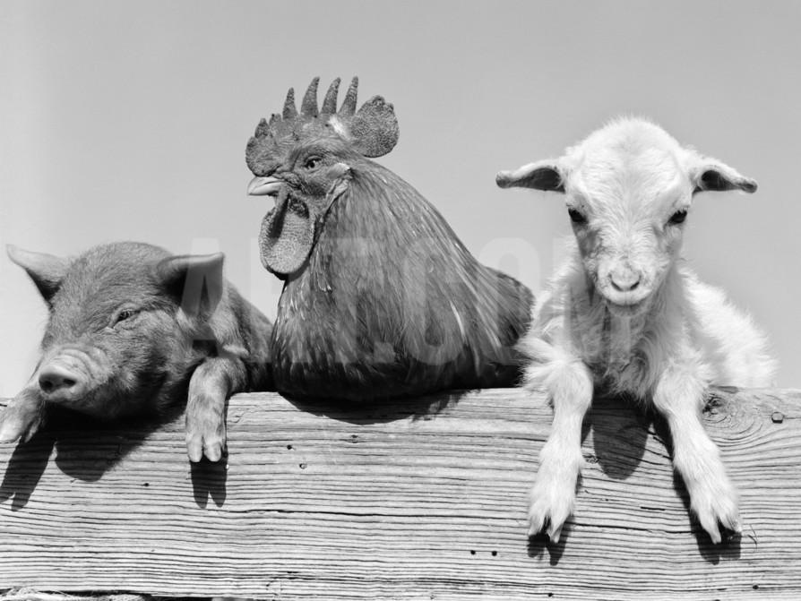 d-corson-1960s-piglet-rooster-lamb-trio-leaning-on-wooden-fence-pig-chick-sheep_a-g-10556479-13060799.jpg