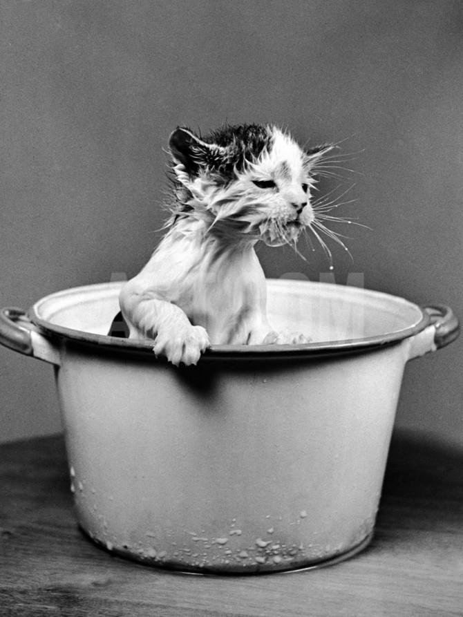 nina-leen-kitten-emerging-from-pot-of-milk-after-falling-into-it_a-g-5298089-4990704.jpg