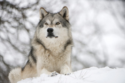 louise-murray-north-american-timber-wolf-canis-lupus-in-forest.jpg