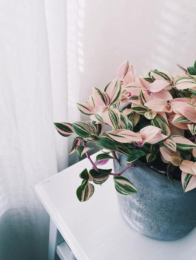 patterned-pink-indoor-plant