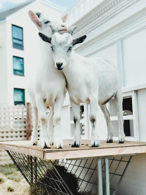 Newport-goats-1.jpg