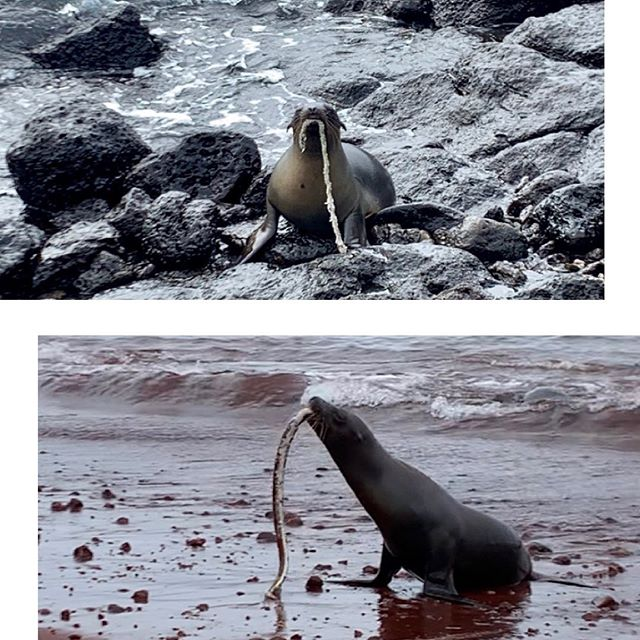 Hey @valeri.joy here again, looking at it side-by-side, it's easy to see how animals in the wild can mistake plastics and other waste for food or something to play with. Both of these photos were taken during last week's #5gyresexpedition2019 to the Galapagos. Top Photo: a young sea lion with a piece of rope in its mouth. Bottom Photo: a young sea lion with an eel in its mouth. This was a truly ADVENTUROUS #galapagos experience and reminder why we need to keep wild places wild, #plasticfree, and #wastefree  Swipe 👉 for video of a sea lion fumbling over its meal before realizing it might have to share! #5gyresambassador #nature#wildplaces #moreoceanlessplastic