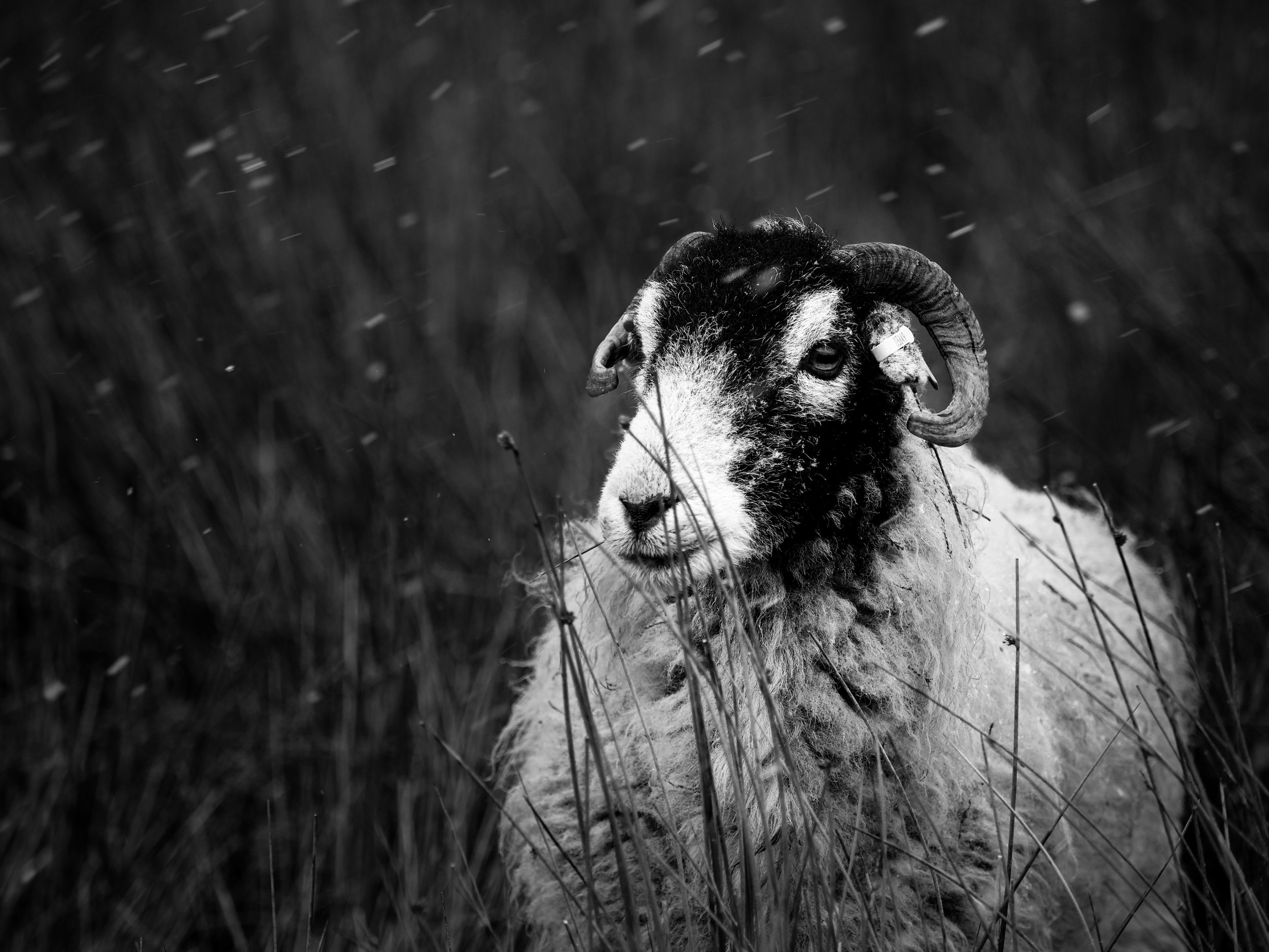 Swaledale sheep on the fells in the Trough of Bowland.  in storm and very strong winds