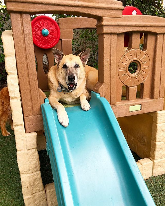 Buster enjoys being captain of the ship! . . . . . . . #dog #dogs #dogsofig #dogsofinsta #dogsoftheday #dogsofinstagram #rescuedogsofinstagram #rescuedog #rescue #instadog #instagood #instadaily #instadogs #dogsdaily #doggydaycare #doggy #dogdaycare #campcanine #campcaninema #ilovedogs #love #puppy #puppiesofinstagram #shepherdmix #germanshepherd