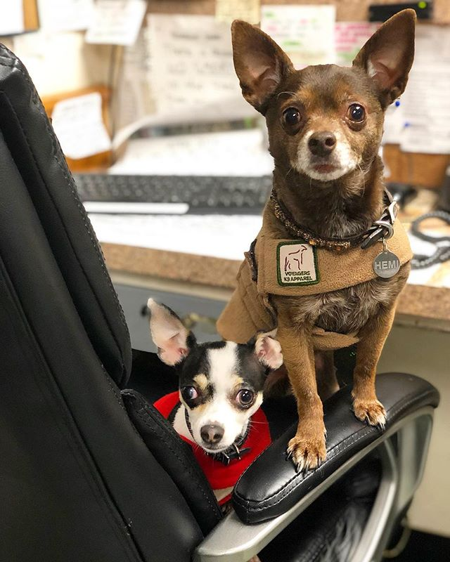 Lola and Hemi ready for work! 🖊 . . . . . #dog #dogs #campcaninema #chihuahua #rescuedogsofinstagram #rescuedog #dogsofinstagram #doge #dogoftheday #officedog #workdog #dogdaycare #doggydaycare