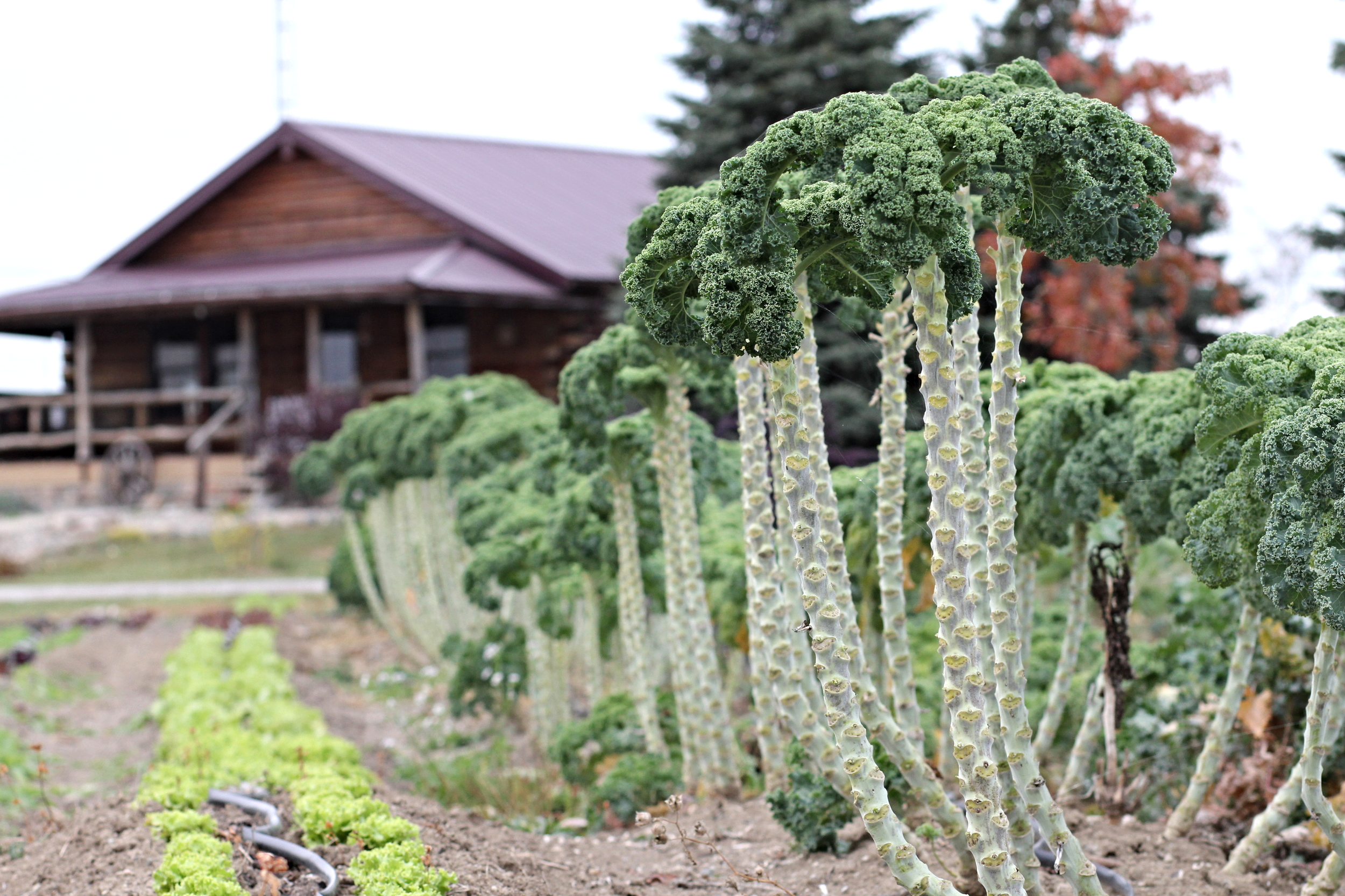 Towering kale (if you didn't know what it looks like planted)