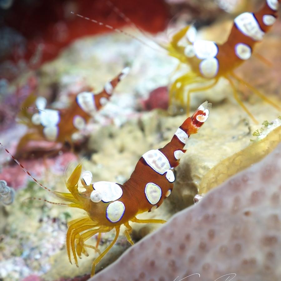 Squat Anemone Shrimp  {Photo Credit: Kieran Reeves Photography}