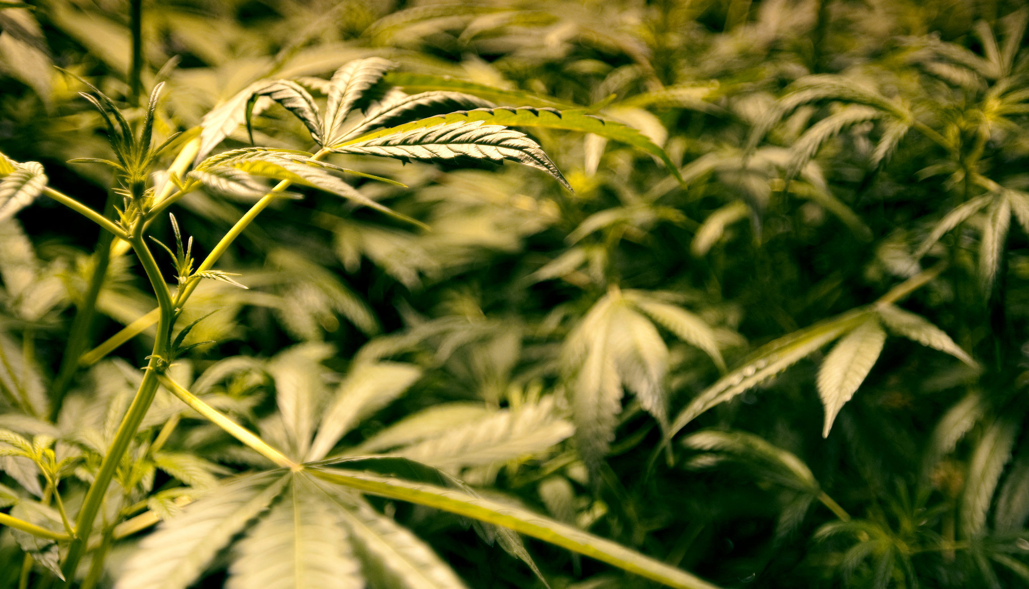 medical-marijuana-03jpg-6b3a017fae342e4a.jpg