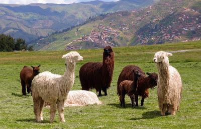 What would Peruvian ruins be without some alpacas?