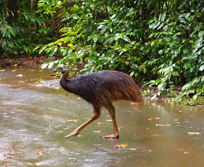 A young cassowary, just heading out of the rainforest
