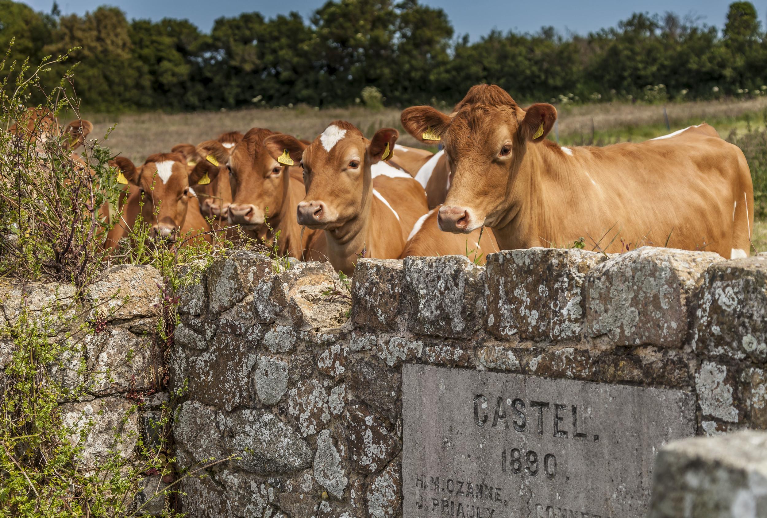 gsy cows.jpg