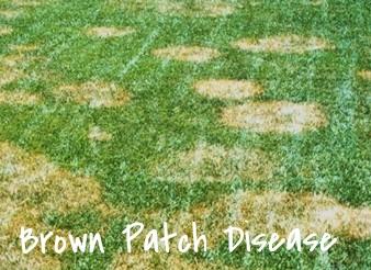 brownpatch_1.jpg