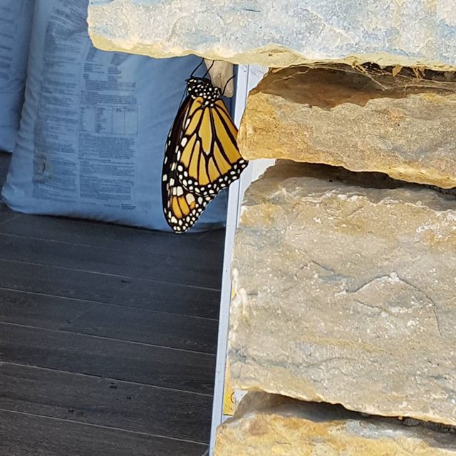 And another. 3 today 2 expected tomorrow.  #monarchbutterfly  #monarch  #monarchwaystation  #savethemonarchs  #savethepollinators