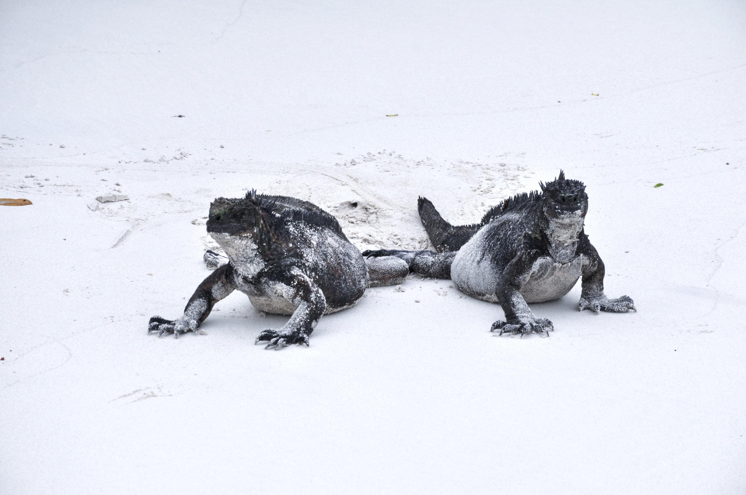 Tortuga Bay iguanas edited.jpg