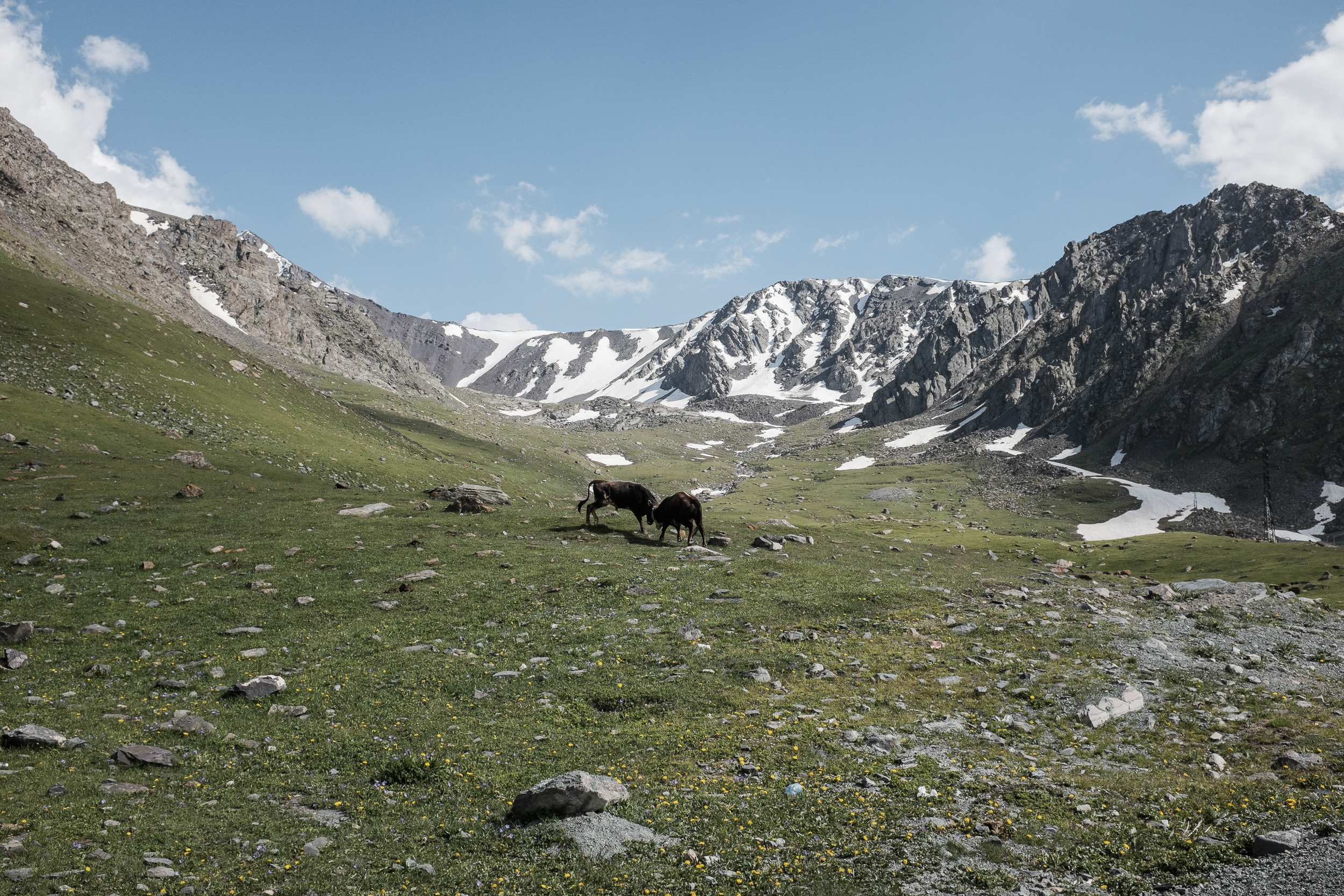 Bulls fighting near the Too-Ashuu pass (3180m) on the way to Talas region (Kyrgyzstan).