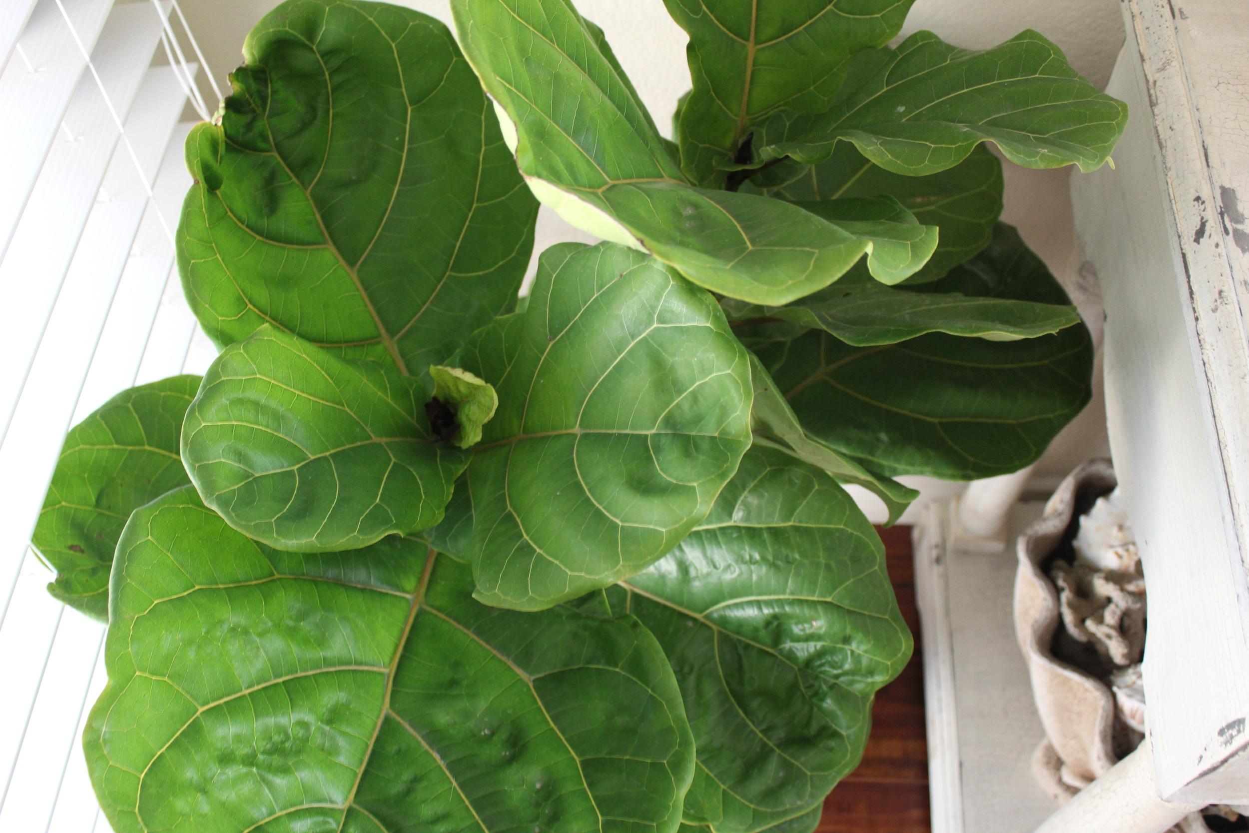 Fiddle Leaf Fig Tree | Indoor Plants | www.foundandkept.com