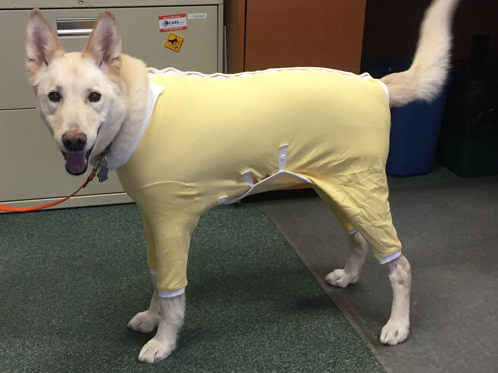 Storm modelling the latest in designer dog wear.  Soooo much better than the cone of shame!