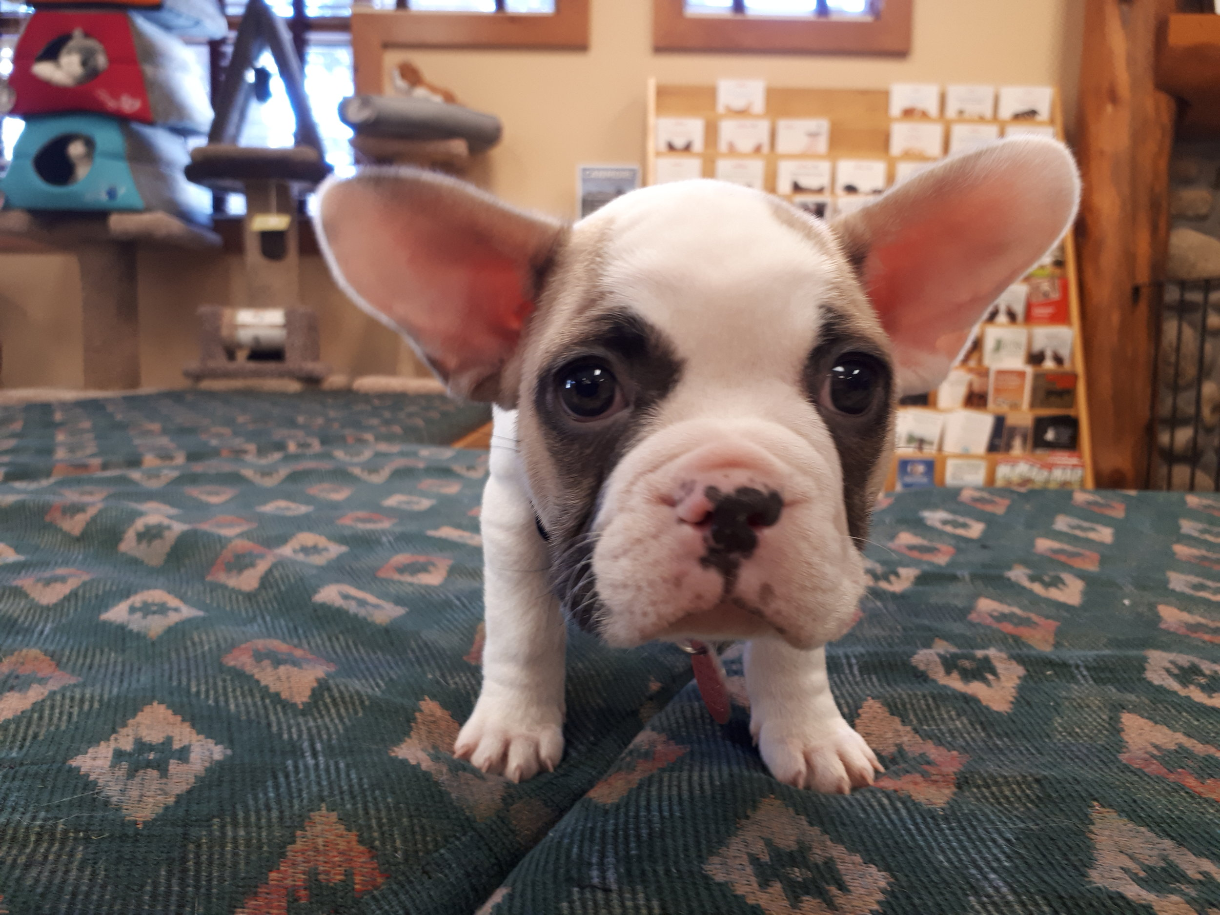 Meet Harley!  A sweet French Bulldog puppy new to the valley.
