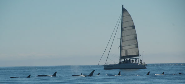 Killer Whales off the Port side