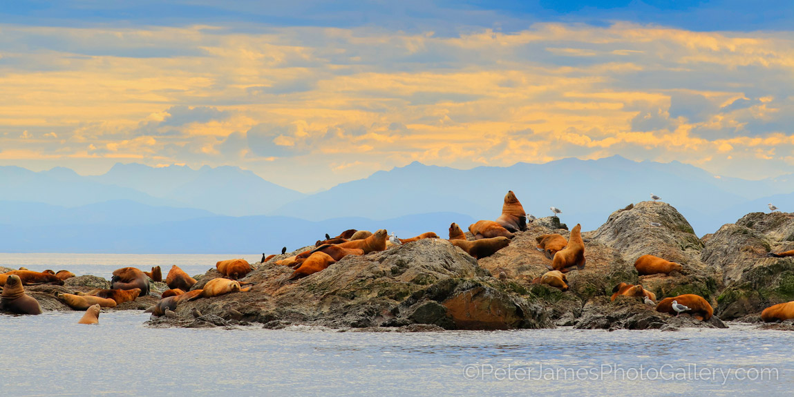 San-Juan-Steller-Sea-Lions.jpg