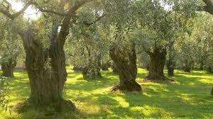 Oliventrær i Palestina