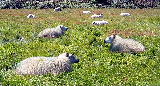 sheep 494 K.jpg