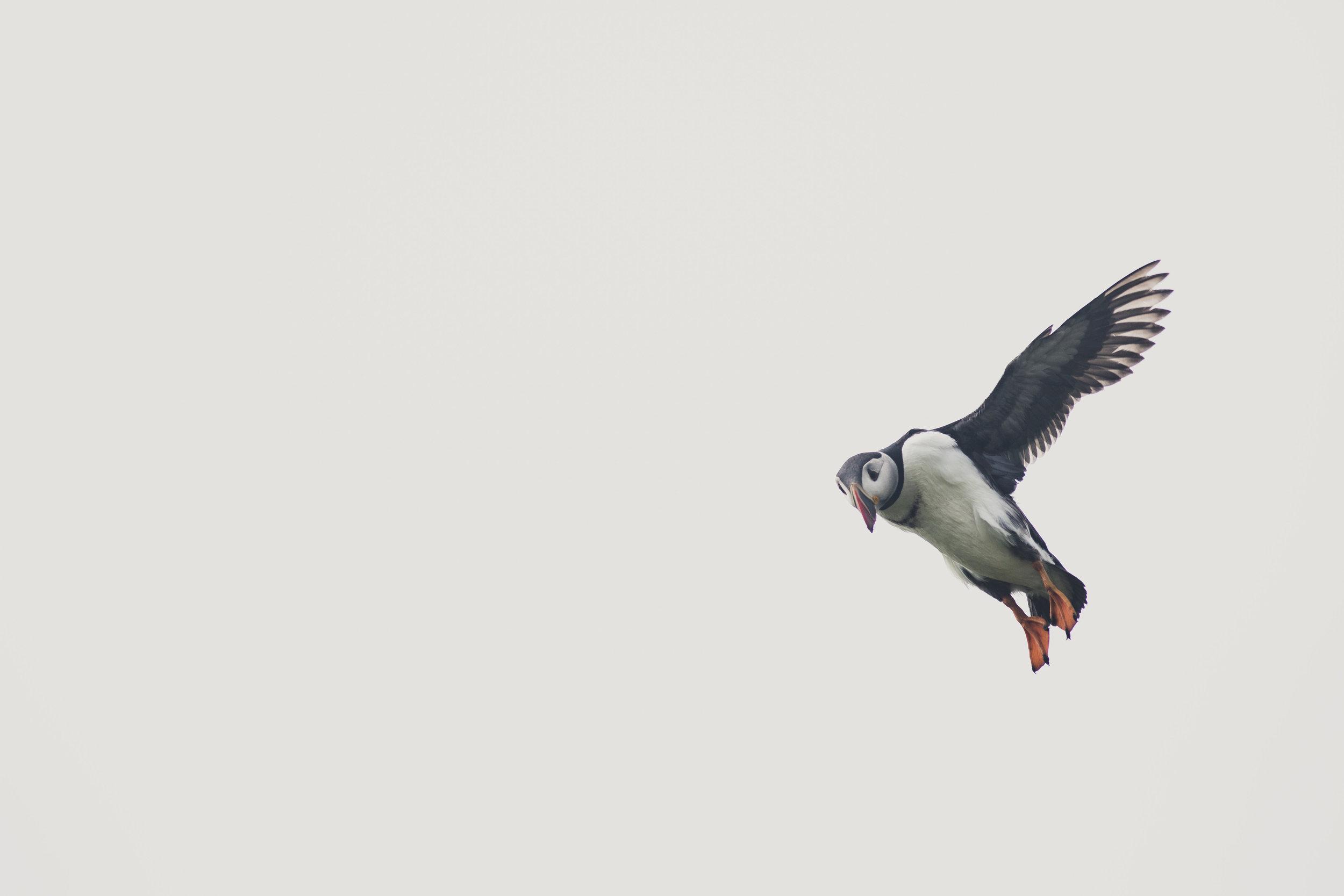 lundefugler mykines-16.jpg