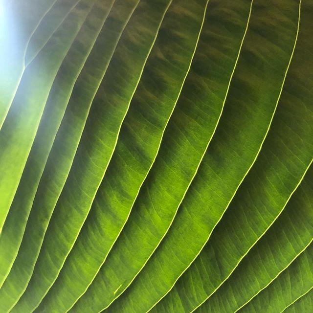 Hosta leaf.