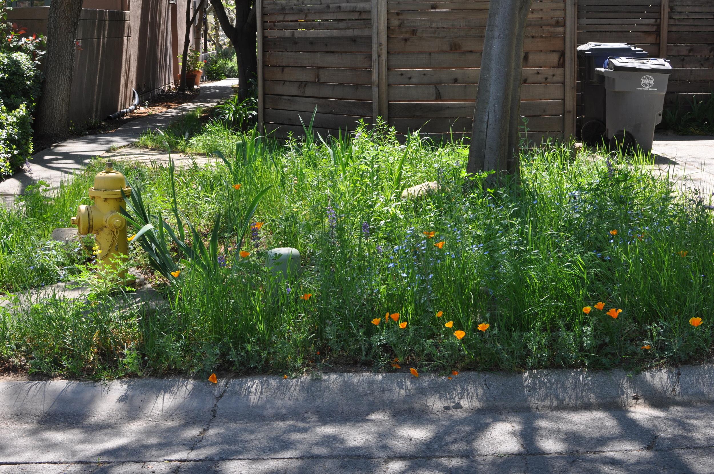 A lawn replaced with native wildflowers by Restoration Landscaping Co., Davis, CA. This ecosystem requires only a tiny fraction of the water of a turf lawn; at the same time, it provides habitat for beneficial insects, reducing the need for harmful pesticides.