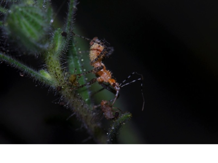A beneficial insect - the assassin bug  Pselliopus spinicollis  - feeds on a fly that got stuck to tarweed's sticky hairs. These entrapped insects provide season-long food for beneficial insects, ensuring that they maintain high populations and provide sustainable, natural pest control for your garden.