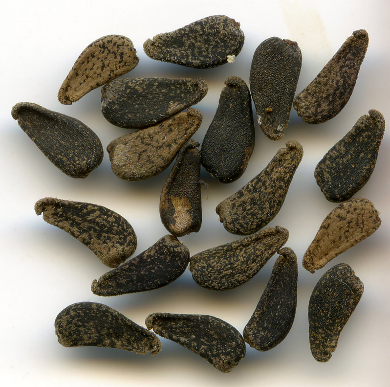 Tarweed seeds ( Madia elegans ).