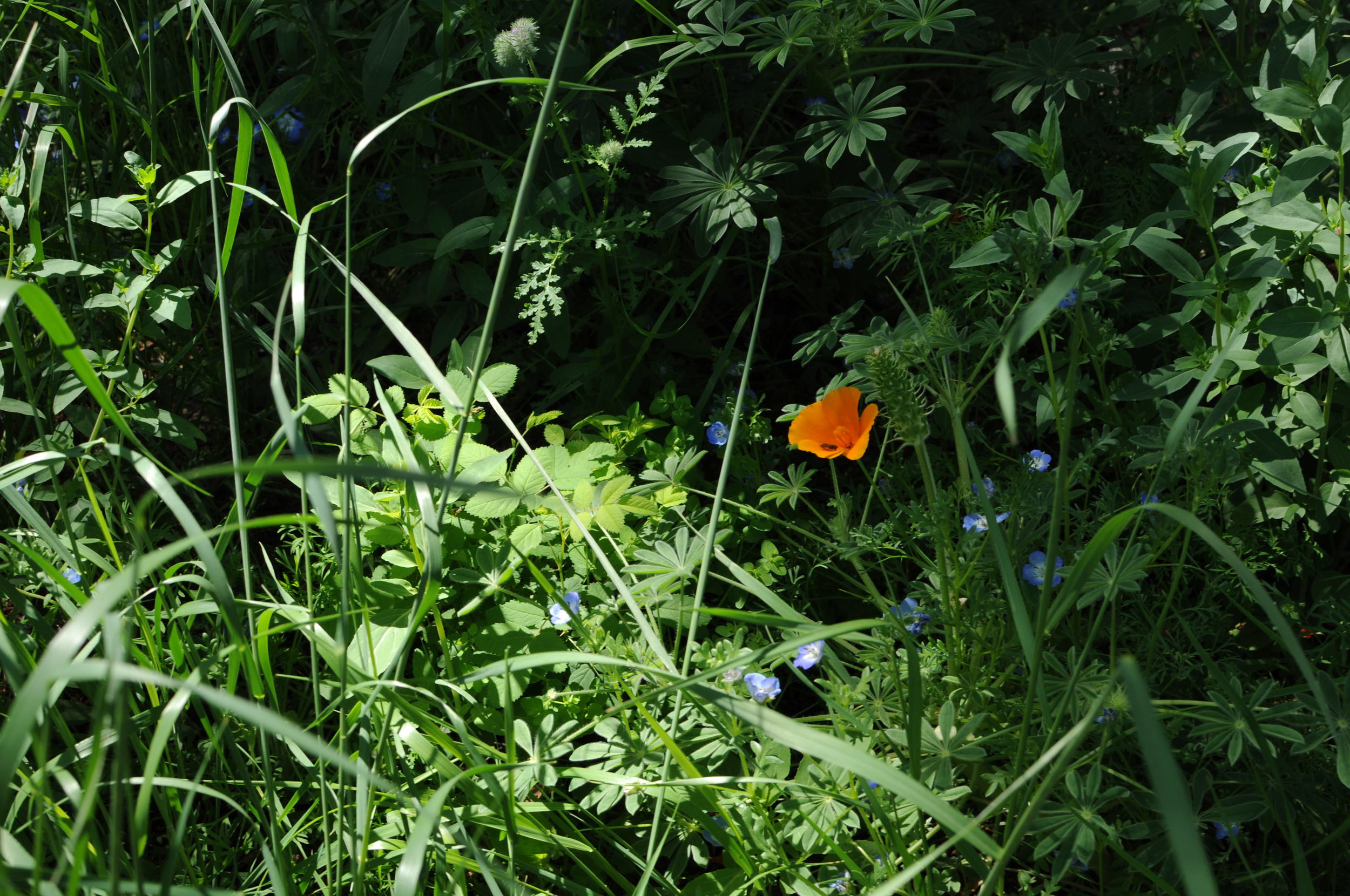 lawn_replacement_wildflower_mix