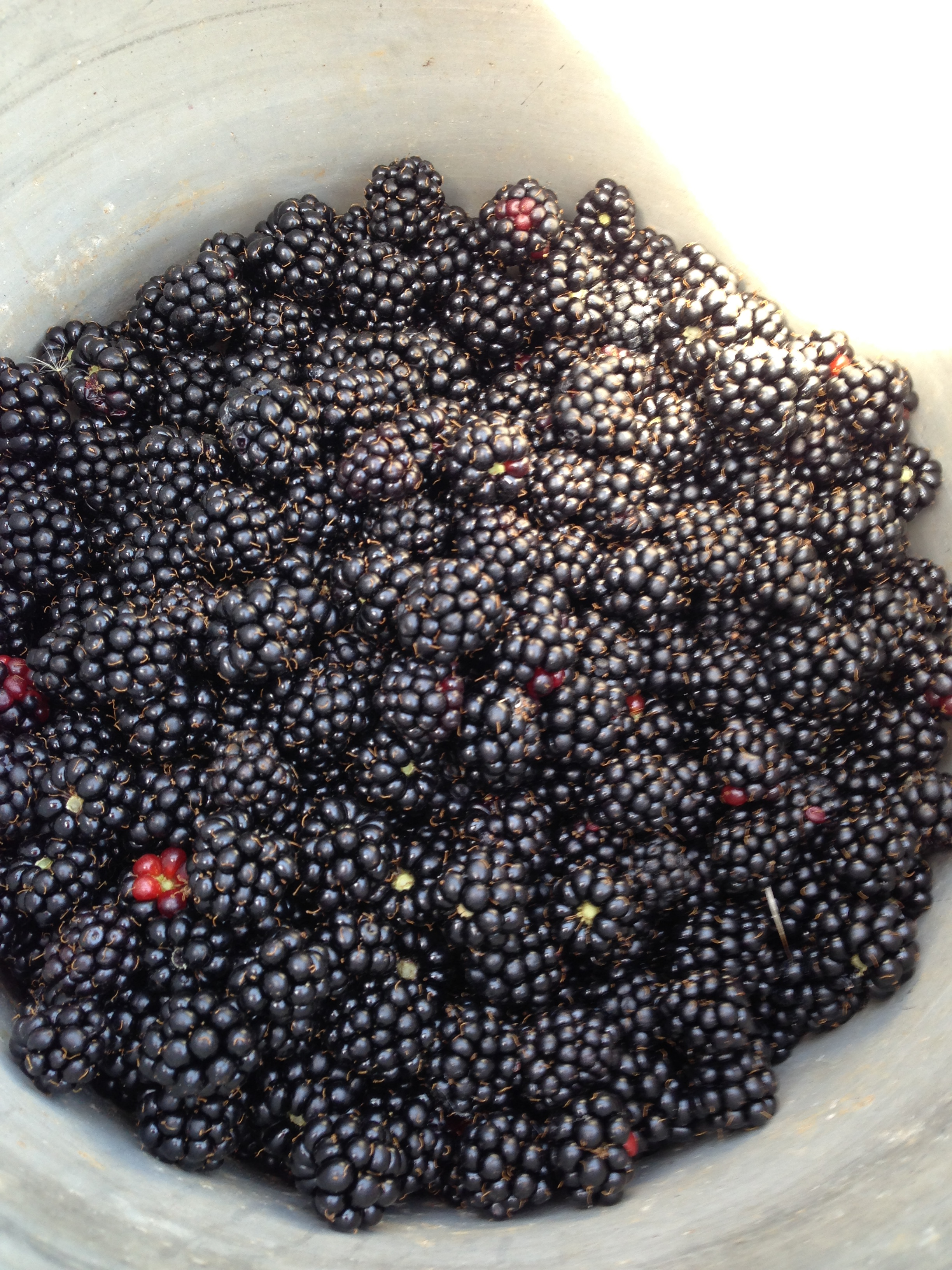 Fresh Blackberries in my Bucket!