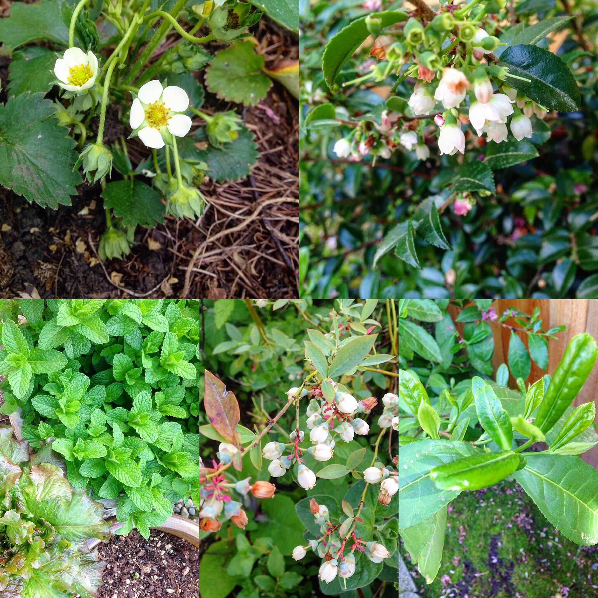 Strawberries, Huckleberries, Mint, Blueberries and Tea in the Garden